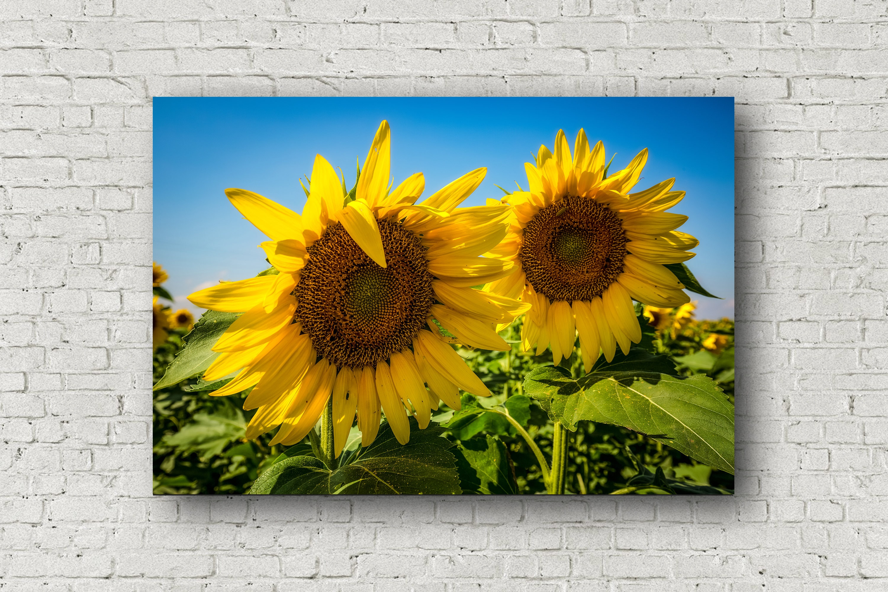 Sunflower Canvas Photography Wall Art Gallery Wrapped Canvas | Etsy
