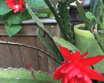 40%OFF, Rooted Epiphyllum, Epicactus, Red flower