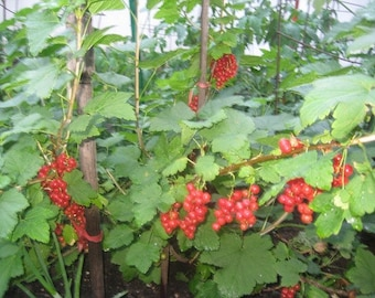 Red currant root, black currant rooted