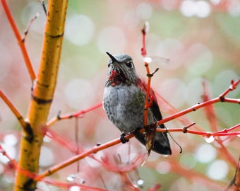 3pack - Humming bird - Humming bird photography