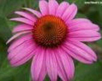 Herbal Properties Freshly Dug Echinacea purpurea Purple Coneflower 3  bare root / Grow your own Organic