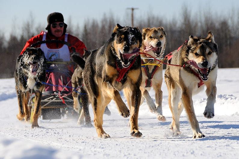 Sled Dog Race, Alaska Musher, Winter Sports, Dog Mushing, Animal Prints,  Dog Art, Snowy Landscape, Arctic, Home Wall Decor, Last Frontier
