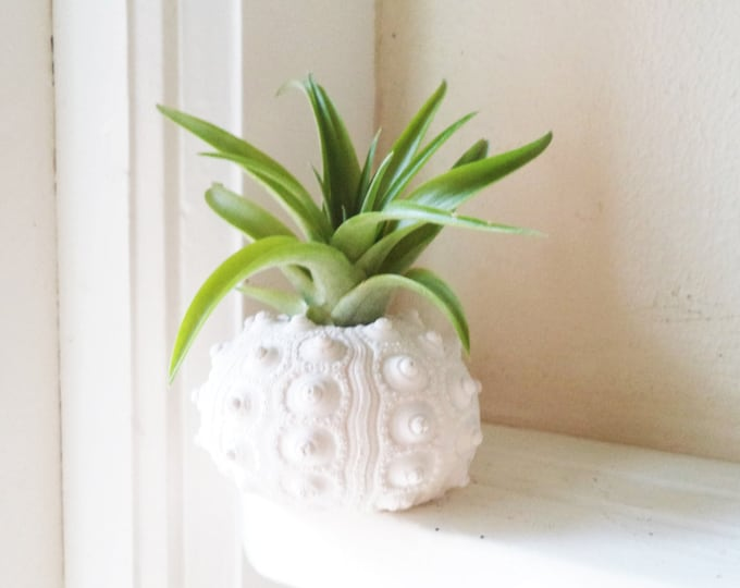 Sea urchin air plant holder, sea shell decor, beach house decor, housewarming gift, beach wedding favors, sea urchin decor, Mothers day