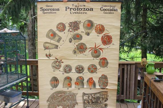 Antike 19. Jahrhundert Biologie Poster/Diagramm Kokzidien