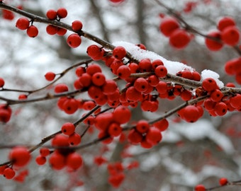 Winter Berries Photography Print