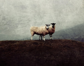 Sheep grazing rural English countryside print, the Dales, square fine art photography, home decor, black & white available