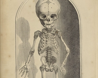 "— Giclee Fine Art Print Table 101 1685 Govard Bidloo : /""Fetal Skeleton /"""
