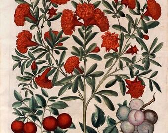 "Basilius Besler — Fine Art Print /""Morning Glories/"" Hortus Eystettensis, 1613"