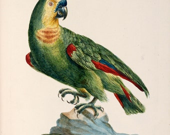 """Saverio Manetti : """"Blue-Fronted Amazon Parrot"""" (Natural History of Birds, 1767-1776) - Giclee Fine Art Print"""