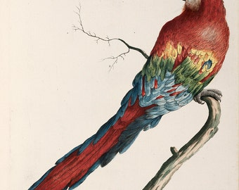 """Saverio Manetti : """"Scarlet Macaw"""" (Natural History of Birds, 1767-1776) - Giclee Fine Art Print"""