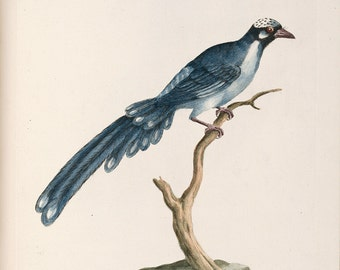 """Saverio Manetti : """"The Heavenly Chinese Cuckoo"""" (Natural History of Birds, 1767-1776) - Giclee Fine Art Print"""
