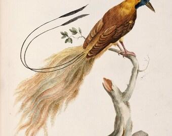 "Saverio Manetti : ""Manucodiata, Known as Bird of Paradise"" (Natural History of Birds, 1767-1776) - Giclee Fine Art Print"