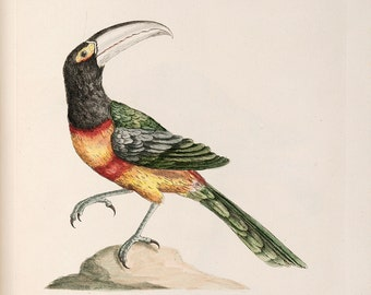 "Saverio Manetti : ""Black-Billed Aracari"" (Natural History of Birds, 1767-1776) - Giclee Fine Art Print"
