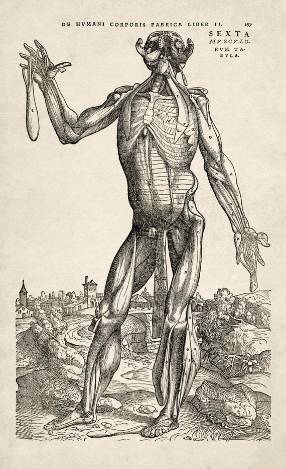 Andreas Vesalius Muscle Man Vi 1543 Giclee Etsy