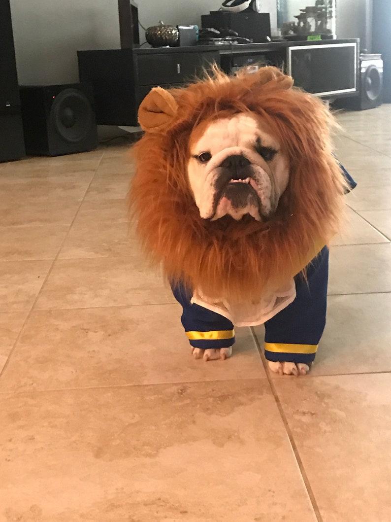 English bull dog in the beast costume