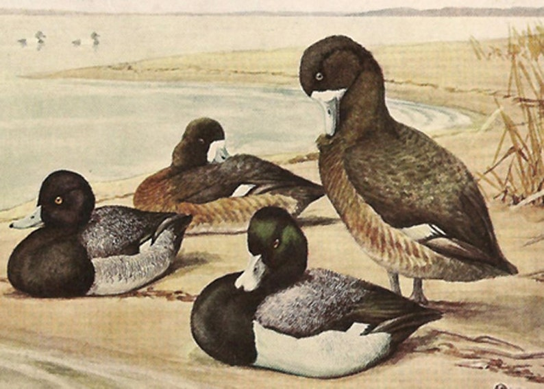 Original 1909 Book Plate Illustration Ringnecked Duck and Scaup