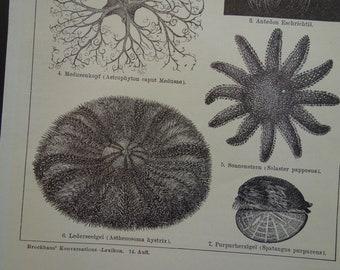 1843 ANTIQUE STARFISH PRINT sea star anatomy C marine animal echinoderm print starfish anatomy original antique print