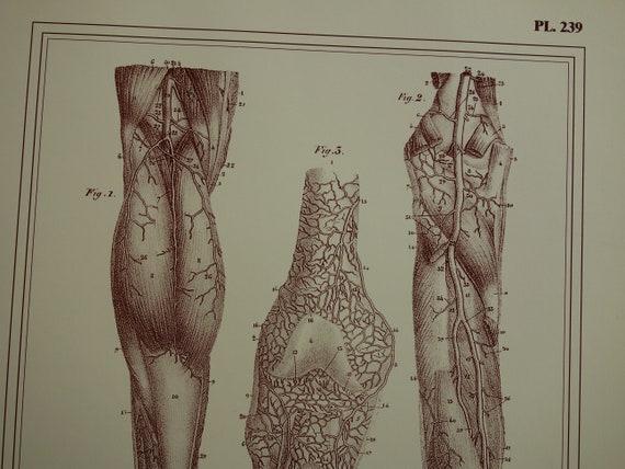 Bein Fuß Anatomie-Druck-Set der alten Venen Arterien in