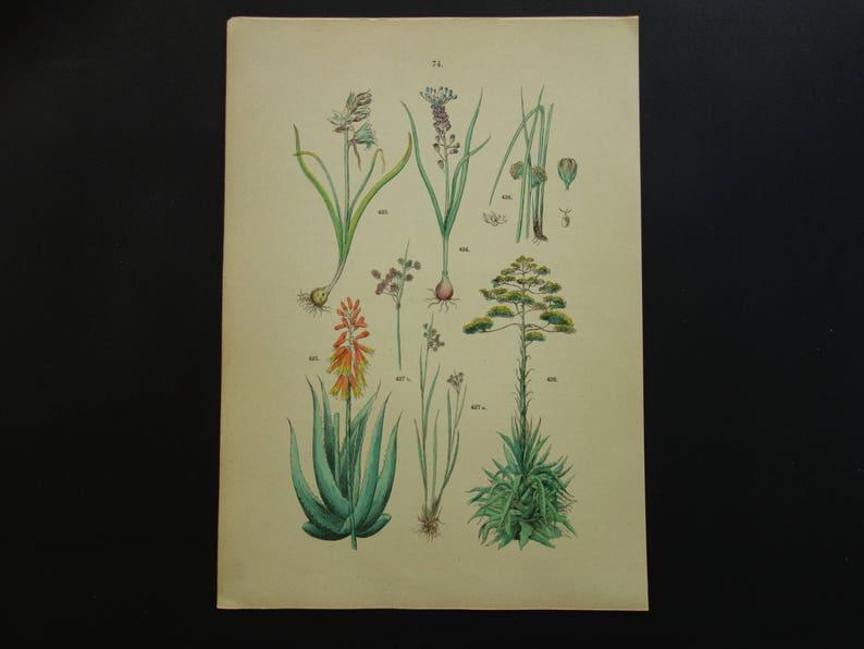 Oude Botanische Prenten : AloË vera oude botanische print originele antieke etsy