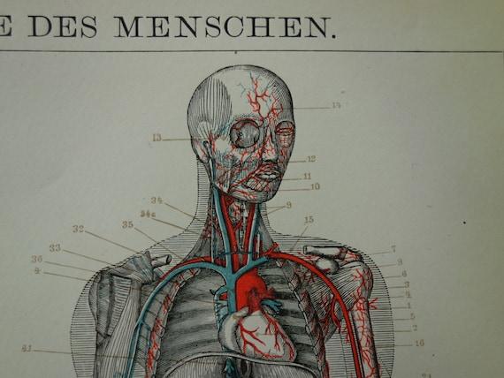 Anatomie-Drucke-Kreislauf-System 1905 alte antike deutsche | Etsy