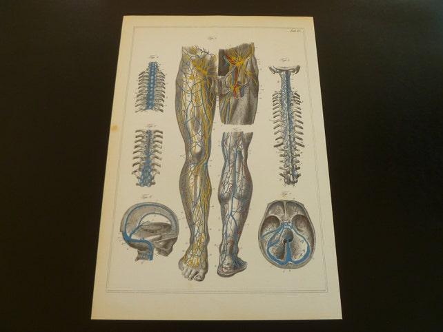 Alte Anatomie Print Venen Lymphgefäße antike Bilder über Bein | Etsy