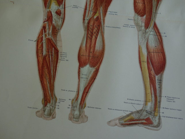 BEINMUSKULATUR antike Anatomie 1890 alt Antomical Poster | Etsy