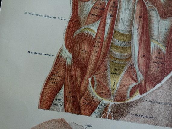 alte Anatomie Print Bauch Muskel 1890 Antik anatomische Plakat   Etsy
