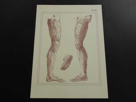 Beine Anatomie Druck alte Bein-Venen-Arterien-Fuß | Etsy