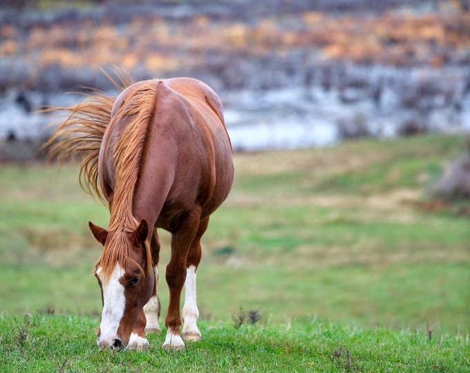 Photography, Landscape, Nature, Farm Scene Print, Title: Horse At The 100 Acre Swamp, 11 x 14 Inch Photographic Print