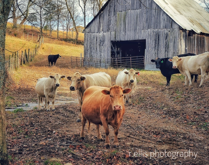 Photography, Cattle Print. Title:  Cattle On A Kentucky Farm, 11 x 14 Inch Photographic Print