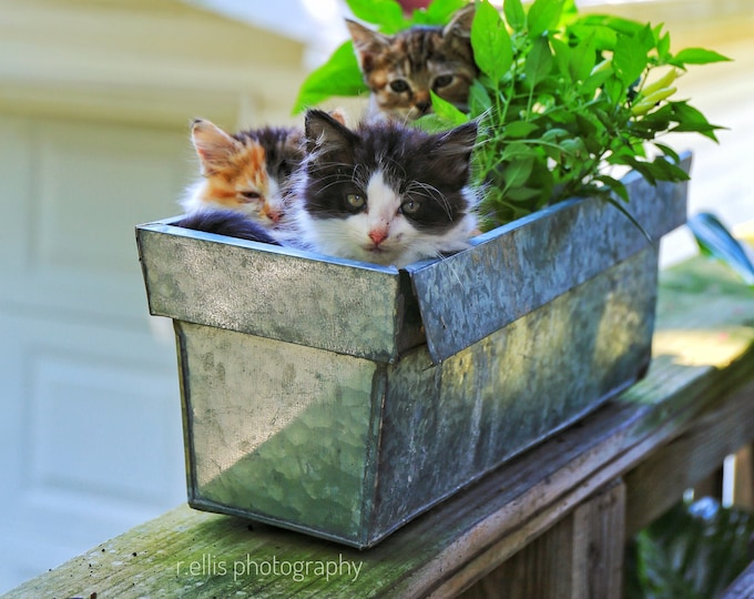 Photography, Nature, Animal, Cat, Kitten Print, Title: Have You Seen Mom?  11 x 14 Inch Photographic Print