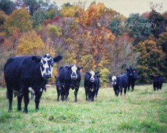Photography, Cow Print, Title: Stared Down By The Black And White Faced Cows, 11 x 14 Inch Photographic Print