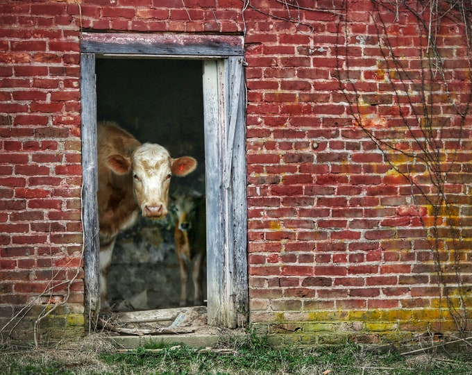 Photography, Cattle Print. Title:  Cows Homesteading At Milltown, 11 x 14 Inch Photographic Print