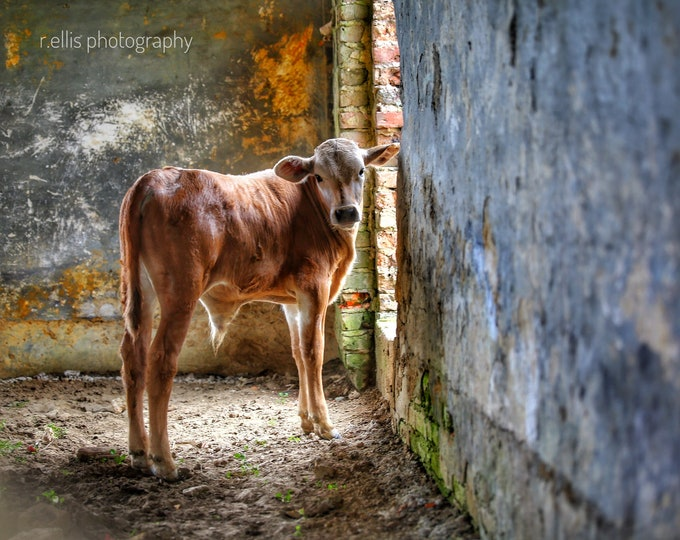 Photography, Calf Print. Title:  Farm Scene At Milltown, 11 x 14 Inch Photographic Print