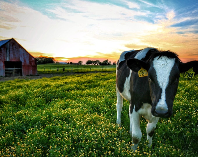 Photography, Cattle Print. Title:  The Red Barn, Sunset, And Number 784,  *10 x 15 Inch Photographic Print