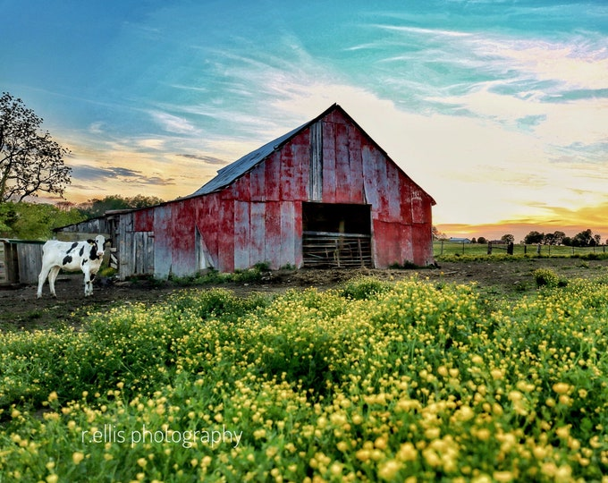 Photography, Cattle Print. Title:  Sunset On A Kentucky Farm, 11 x 14 Inch Photographic Print
