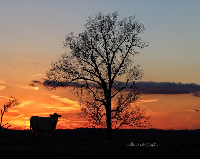 Photography, Landscape, Title:  Sunset Over Lone Cow On The Jolly Farm, 11 x 14 Inch Photographic Print