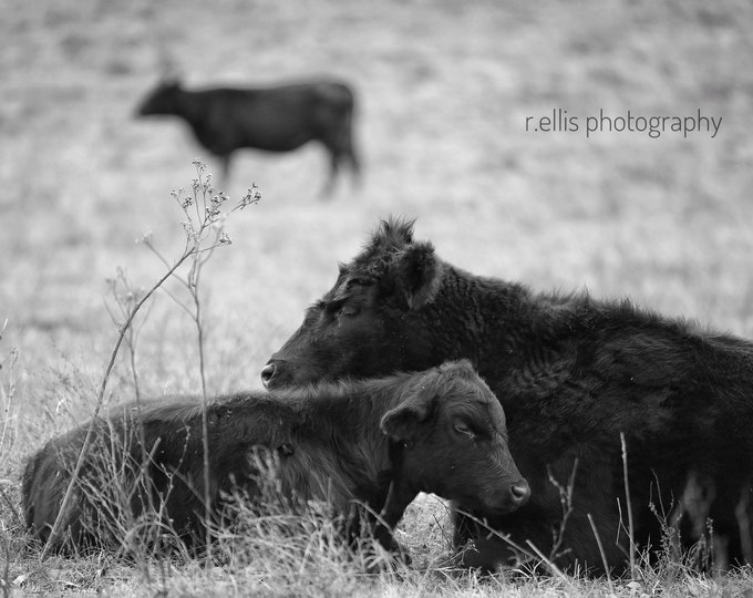 Photography, Cow Print, Title: Black Angus Cow And Calf, 11 x 14 Inch Photographic Print