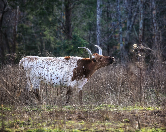 Photography, Curious Longhorn Stopping To Smell The Weeds, 11 x 14 Inch Photographic Print