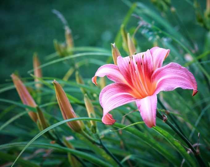 Photography Floral Print, Daylilies, 11 x 14 Inch Photographic Print