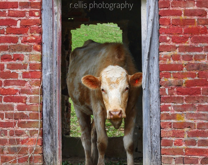 Photography, Cattle Print. Title:  Welcome Home! 11 x 14 Inch Photographic Print