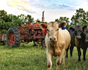 Photography, Curious Cattle On The Farm, Farm Scenery, Old Farmall Tractor, 11 x 14 Inch Photographic Print