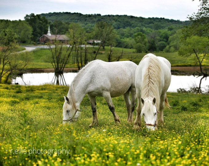 Photography, Horse Print, Title:  Percheron's Grazing On A Kentucky Farm, 11 x 14 Inch Photographic Print