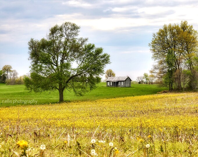 Old Homestead In A Field Of Yellow, Photographic Prints, 11 X 14, Green County, Kentucky