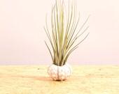 White Sea Urchin Juncea