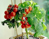 Tiny Tim miniature heirloom tomato, 15 seeds, teeny fruit, patio plant, container plant, windowsill, super early, 45 days, grows year round photo