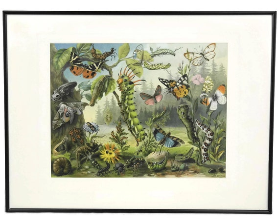 Caterpillar & Butterfly Art Print. Antique Illustration from Meyer Encyclopedia.