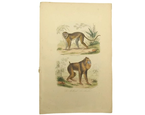 Monkey & Mandrill Art Print. Antique French Engraving. Natural History Animal Illustrations. Jungle Decor and Gifts.