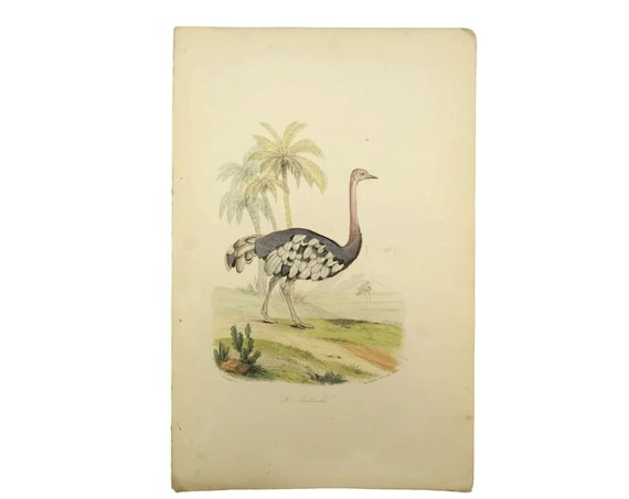 Ostrich Art Print. Antique French Engraving. Natural History Animal Illustrations. Bird Lover Decor & Gifts.