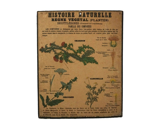 Antique Deyrolle Flower Botanical Study Poster, Natural History French School Wall Chart Number 15